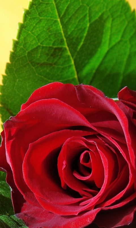 3d Love Roses Live Wallpaper App Ranking And Store Data App Annie