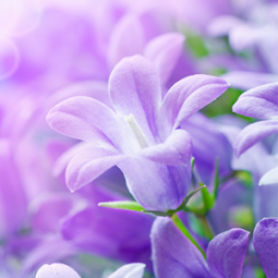 Lilac Flowers Live Wallpaper App Ranking And Store Data App Annie