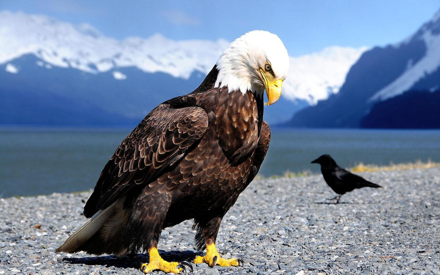 bald eagle wallpaper app ranking and store data | app annie