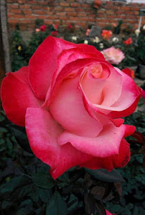 Flower Rose Gif 2019 App Ranking and Store Data   App Annie